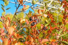 chokeberry Στοκ Εικόνες