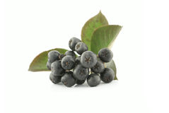 chokeberry aronia черный Стоковое Изображение RF