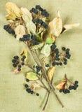 Chokeberry, Aronia Erbe secche Medicina di erbe, fitoterapia me Fotografia Stock