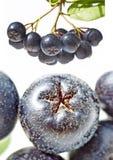 Chokeberry,Aronia melanocarpa Royalty Free Stock Photo