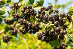 Chokeberry Aronia-melanocarpa auf Baum im Obstgarten stockbild