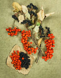 Chokeberry, aronia, sorba Erbe secche Medicina di erbe, pH Immagini Stock