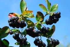Chokeberry aronia-zwarte Stock Foto