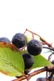 Chokeberry. Berries. Royalty Free Stock Photo