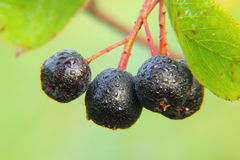 Chokeberry. Berries. Royalty Free Stock Photography