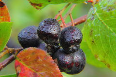 Chokeberry. Berries. Royalty Free Stock Images