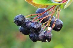 Chokeberry. Berries. Stock Photography