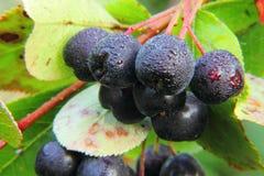 Chokeberry. Berries. Royalty Free Stock Photos