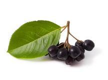 Chokeberry Royalty Free Stock Image