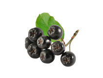 Chokeberry branch Royalty Free Stock Photo