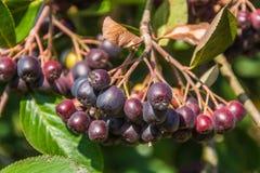 Chokeberry branch. Chokeberry or Aronia Michurina - (lat.Arónia mitschurínii Royalty Free Stock Image