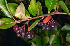 Chokeberry on a branch royalty free stock photo