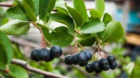 Chokeberry on a branch stock photos