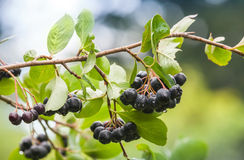Chokeberry on the branch stock photo