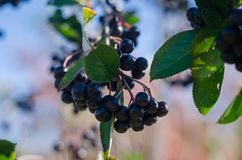 Chokeberry bunch on the branch closeup. Chokeberry bunch on the branch close up against the sky Royalty Free Stock Images