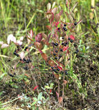 Chokeberry bush with ripe berries in autumn Stock Images