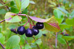 Chokeberry Stock Images