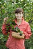Chokeberry di raccolto della donna immagini stock libere da diritti