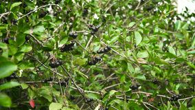 Chokeberry gałąź w jesieni Fotografia Stock