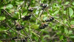 Chokeberry gałąź w jesieni Obrazy Stock