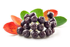 Chokeberry isolated Royalty Free Stock Image