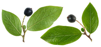 Chokeberry with leaf Stock Photo