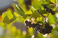 Chokeberry na drzewie Obrazy Royalty Free