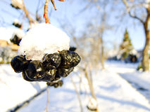 Chokeberry-Nahaufnahme im Winter Lizenzfreies Stockfoto