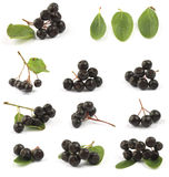 Chokeberry negro Fotografía de archivo
