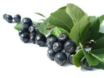Chokeberry negro (aronia) Imagen de archivo libre de regalías
