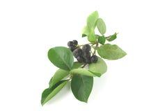 Chokeberry negro - aronia Fotografía de archivo libre de regalías
