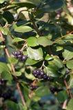 Chokeberry negro en arbusto Imagen de archivo