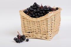 Chokeberry nero Fotografie Stock Libere da Diritti