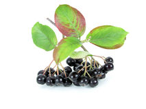 Chokeberry nero (Aronia) Fotografie Stock