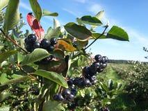 Chokeberry orchard. Black chokeberry (aronia) trees in autumn royalty free stock photography