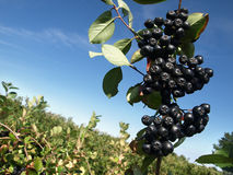 Chokeberry orchard. A bunch of black chokeberry (aronia) against blue sky stock images