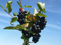 Chokeberry orchard. A bunch of black chokeberry (aronia) against blue sky stock photo