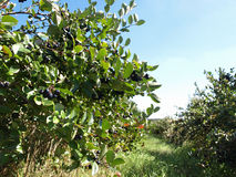 Chokeberry orchard. Black chokeberry (aronia) trees in autumn royalty free stock image