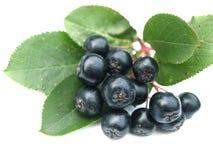 Chokeberry preto (aronia) Fotografia de Stock
