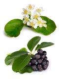 Chokeberry preto (melanocarpa de Aronia) Fotografia de Stock