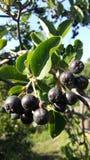 Chokeberry sur un arbre photos libres de droits
