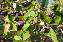 Chokeberry tree Stock Photography