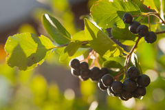 Chokeberry on the tree Royalty Free Stock Images