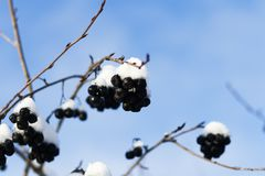 . Chokeberry under the snow. shallow depth of field. have toning. Chokeberry under the snow. shallow depth of field. have toning stock photography
