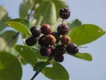 Chokeberry wiązka Fotografia Stock