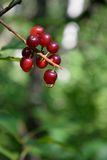 Chokecherries (Prunus virginiana) with Dewdrop Stock Photography
