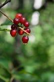 Chokecherries (Prunus virginiana) mit Tautropfen Stockfotografie