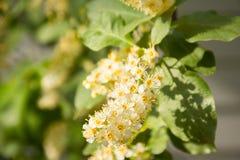 Free Chokecherry Blossom Prunus Virginiana Stock Photography - 117681272