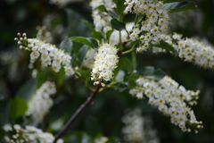 A chokecherry bush in full bloom with white flowers. A beautiful chokecherry bush in bloom with delicate spinals full of tiny while flowers with yellow centers royalty free stock photography