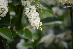 A chokecherry bush in full bloom with white flowers. A beautiful chokecherry bush in bloom with delicate spinals full of tiny while flowers with yellow centers royalty free stock photos